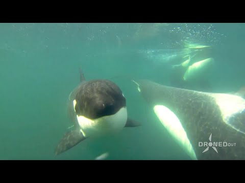 Drone Flies Over 3 Killer Whales