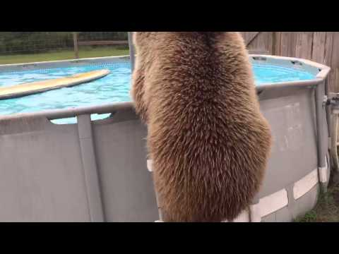 Bruiser Bear Takes a Swim